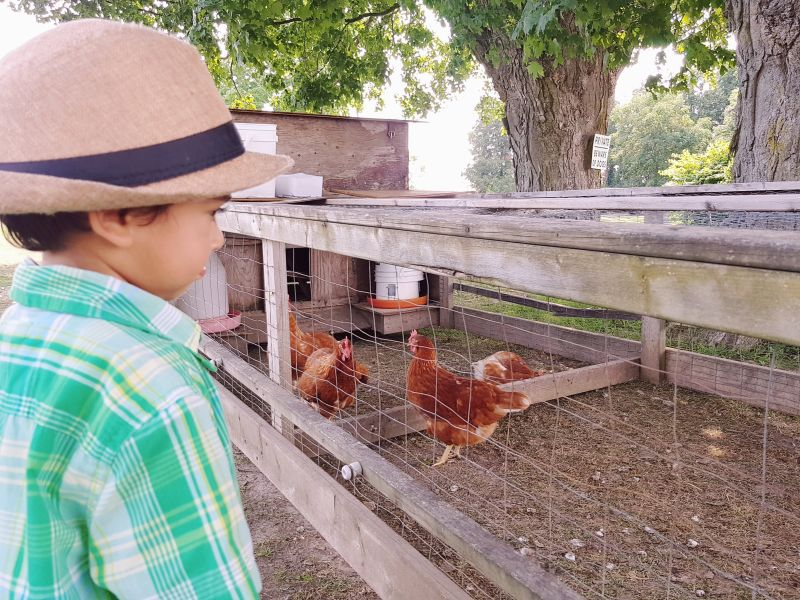Watching Chickens at Hy Hope Farm